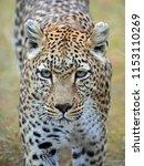 leopard on the prowl. taken in... | Shutterstock . vector #1153110269