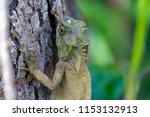 lizard lays on a tree in the... | Shutterstock . vector #1153132913