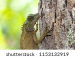 lizard lays on a tree in the... | Shutterstock . vector #1153132919