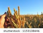 golden wheat. a wheat field at... | Shutterstock . vector #1153138646