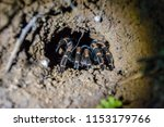 A Mexican Red Knee Tarantula In ...