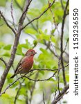 small house finch bird with red ... | Shutterstock . vector #1153236550