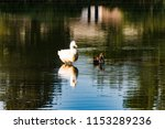 White Goose  And A Pintail Duck