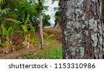 mahogany trees behind the house ... | Shutterstock . vector #1153310986