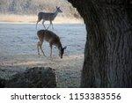 Two Deer Grazing In Streaks Of...