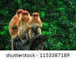 Three Hiding Proboscis Monkeys...