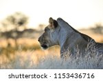 A Single Lioness Stands In The...