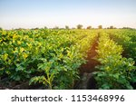 potato plantations grow in the... | Shutterstock . vector #1153468996