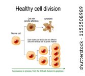 healthy cell division. each... | Shutterstock .eps vector #1153508989