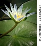 Small photo of Amazon waterlily in beautiful light with the lily / leaf in the background