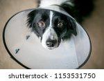 a border collie dog wearing a...   Shutterstock . vector #1153531750