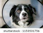a border collie dog wearing a...   Shutterstock . vector #1153531756