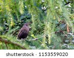young female blackbird perched... | Shutterstock . vector #1153559020