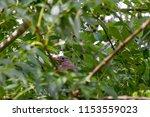 young femal blackbird hidden... | Shutterstock . vector #1153559023