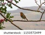 robin red breast | Shutterstock . vector #1153572499
