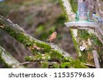 chaffinch posing on a tree | Shutterstock . vector #1153579636