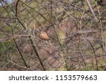 chaffinch posing on a tree | Shutterstock . vector #1153579663