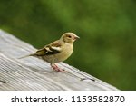 goldfinch on the table  | Shutterstock . vector #1153582870