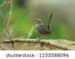 black billed nightingale thrush ... | Shutterstock . vector #1153588096