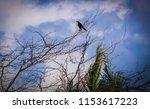 black bir  sitting in the tree... | Shutterstock . vector #1153617223