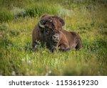 Lone buffalo relaxing, Lamar Valley, Yellowstone