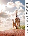 mother giraffe and six week old ... | Shutterstock . vector #1153633129