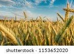 rye field. belarus. | Shutterstock . vector #1153652020