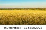 rye field. belarus. | Shutterstock . vector #1153652023