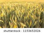 rye field. belarus. | Shutterstock . vector #1153652026