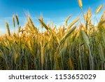 rye field. belarus. | Shutterstock . vector #1153652029
