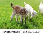 Little Brown Goat Kid Grazing ...
