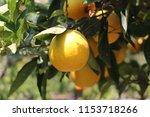 orange tree in the orange... | Shutterstock . vector #1153718266
