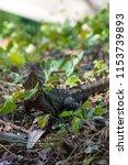 a water dragon lizard sun...   Shutterstock . vector #1153739893