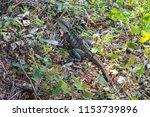 a water dragon lizard sun...   Shutterstock . vector #1153739896