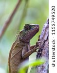 lizard lays on a tree in the... | Shutterstock . vector #1153749520