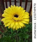 close up of the yellow gerbera... | Shutterstock . vector #1153749970