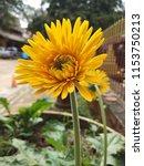 close up of the yellow gerbera... | Shutterstock . vector #1153750213