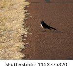 chirpy little juvenile ... | Shutterstock . vector #1153775320