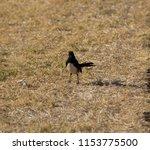 chirpy little juvenile ... | Shutterstock . vector #1153775500