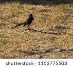 chirpy little juvenile ... | Shutterstock . vector #1153775503