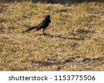 chirpy little juvenile ... | Shutterstock . vector #1153775506