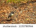 cute little south island robin... | Shutterstock . vector #1153780966