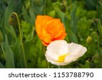 orange and white poppies in a... | Shutterstock . vector #1153788790