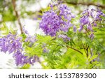 jacaranda mimosifolia is a sub... | Shutterstock . vector #1153789300