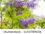 jacaranda mimosifolia is a sub... | Shutterstock . vector #1153789636