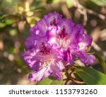 mouve rhododendron flowers ... | Shutterstock . vector #1153793260