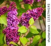 purple lilac flowers  not... | Shutterstock . vector #1153794193