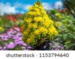 striking yellow flowers of the... | Shutterstock . vector #1153794640
