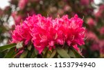 red rhododendron flowers on a... | Shutterstock . vector #1153794940