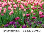 pink and purple tulips at the... | Shutterstock . vector #1153796950